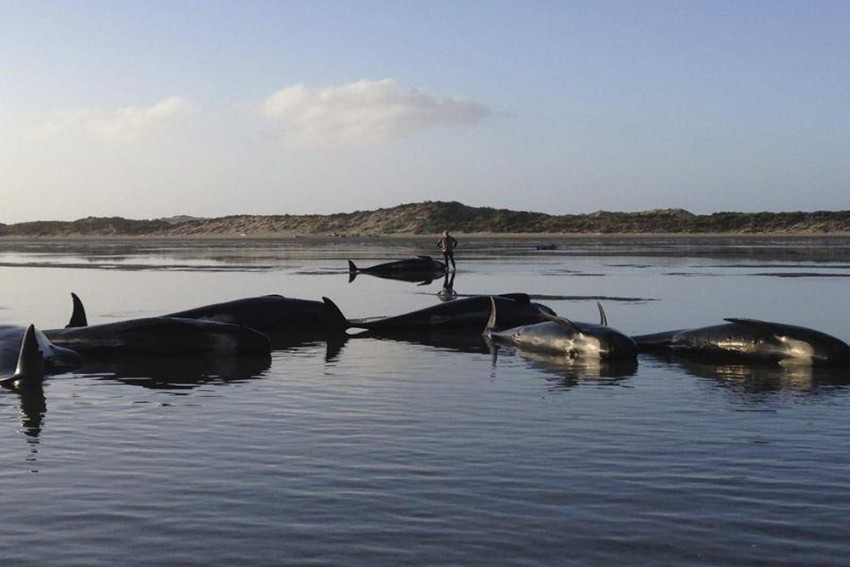 At Least 4o Beached Pilot Whales Refloated In New Zealand