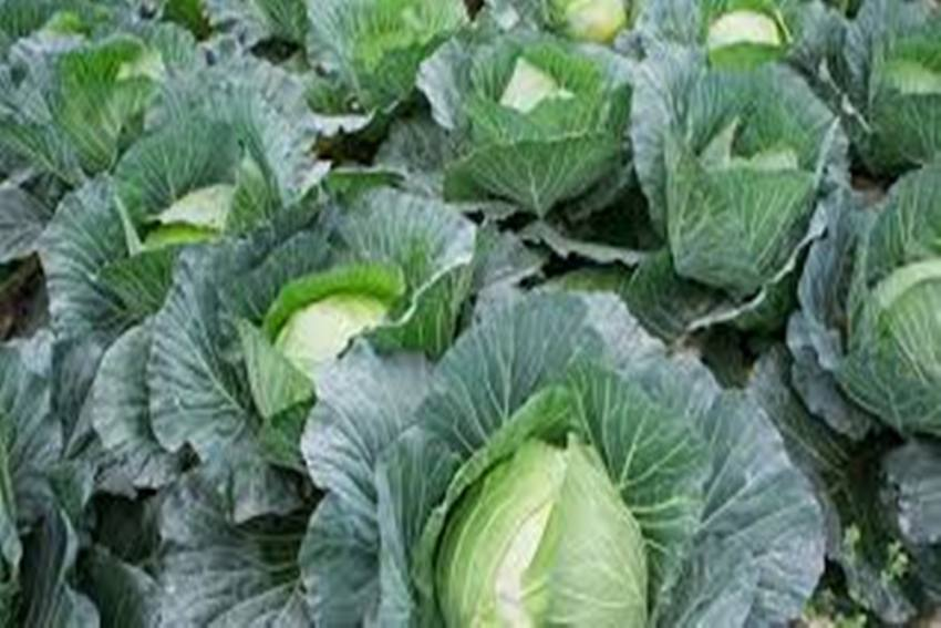 From Cotton To Cabbage – Kaveri Seed's New Journey