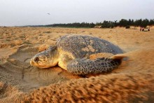 Mass Nesting Of Olive Ridley Turtles Likely On Odisha's Gahirmatha Beach Within 14 Days: Official