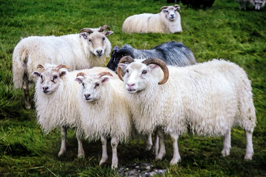 Avoiding Human Contact During Covid? This Farm Offers Free Cuddling With Sheep To Beat Loneliness