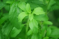 Growing This Plant As Healthy Substitute To Sugar