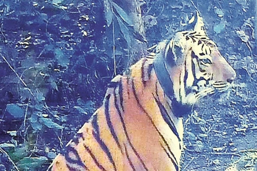 2 Years After Man-Eater Tiger Avni Was Killed, Her Cub Released Into Wild