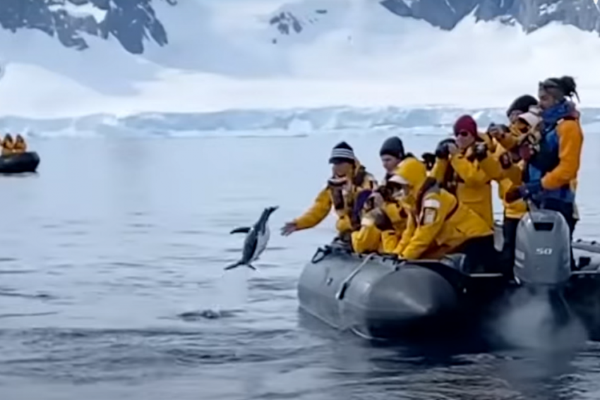 Watch: Penguin Saves Himself From Killer Whales By Jumping On Tourist Boat
