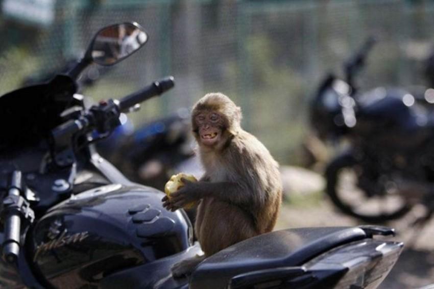 Delhi: Men Use Monkeys To Rob Lawyer, Arrested