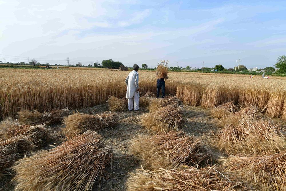 86% Of Available Wheat Procured In Punjab: Mandi Board