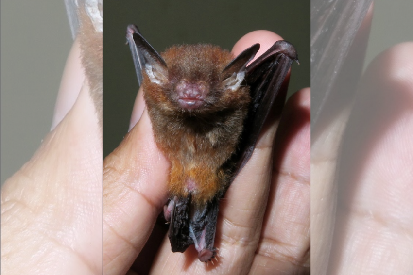 Scientists Discover New Bamboo-Dwelling Bat Species In Meghalaya