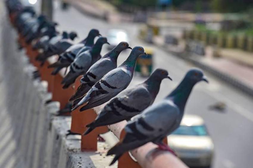 BSF Demands FIR Against 'Pigeon From Pakistan'; Bird In Police Custody