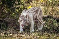 Maharashtra: Two White Tigers Born In Aurangabad Zoo