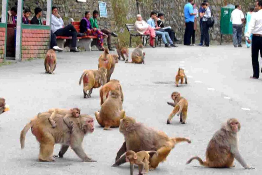 Monkey Business: Visiting Shimla? Hide Your Spectacles