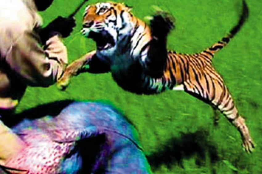 Tiger Kills Two Men In Maharashtra's Chandrapur