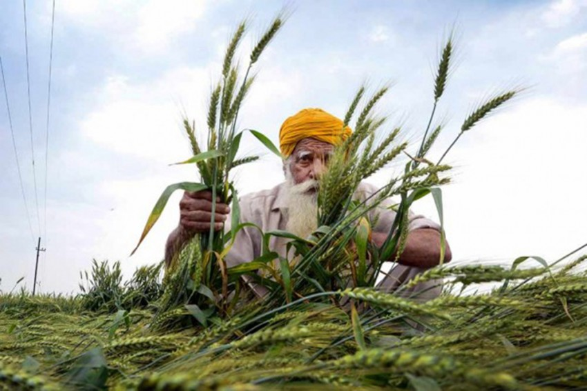 Madhya Pradesh Farmers Jittery After Govt Delays Wheat Procurement