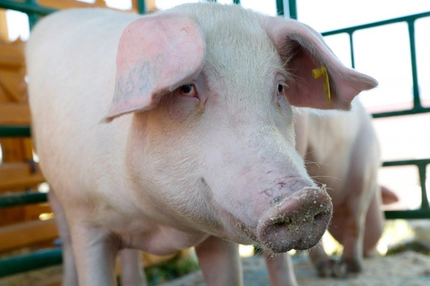 125 Pigs Dead In Mizoram, Preliminary Test Indicates African Swine Fever