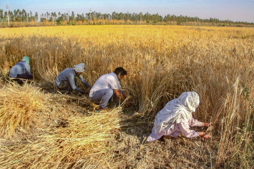 COVID Protocols In Punjab Mandis As Wheat Procurement Begins