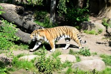 Tiger Mauls Attendant To Death In Itanagar Zoo