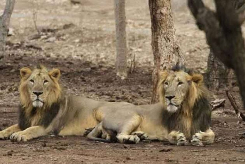Eight Lions In Hyderabad Zoo Test Covid Positive