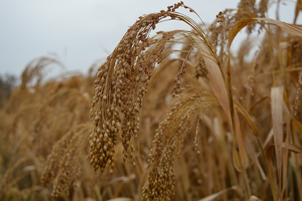 Organic Millets Grown In Himalayas Soon To Reach Denmark