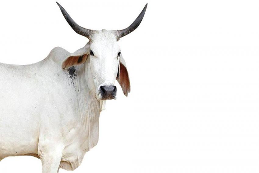 Oximeters, Thermal Scanners For Cows In UP's 'Gaushalas'