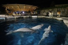 US: Connecticut Aquarium To Auction Off Chance To Name Three Beluga Whales