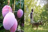 Mango Security: Farmer In MP Hires Nine Dogs, Three Guards To Protect Rare Mangoes