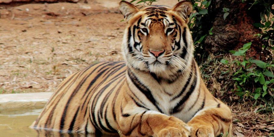 Royal Bengal Tiger Killed In 'Unwarranted Firing' In Kaziranga, Forest Staff Suspended