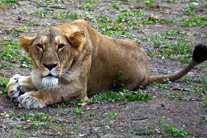 Lioness In Tamil Nadu Zoo Dies Of Coronavirus, Nine Others Infected