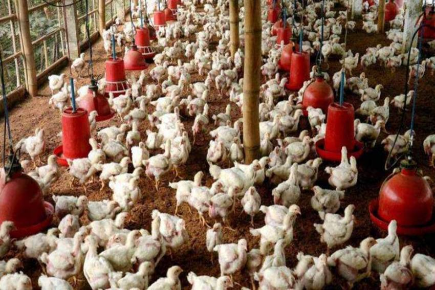 Explained: What Is H5N1 Avian Influenza, Symptoms, And More