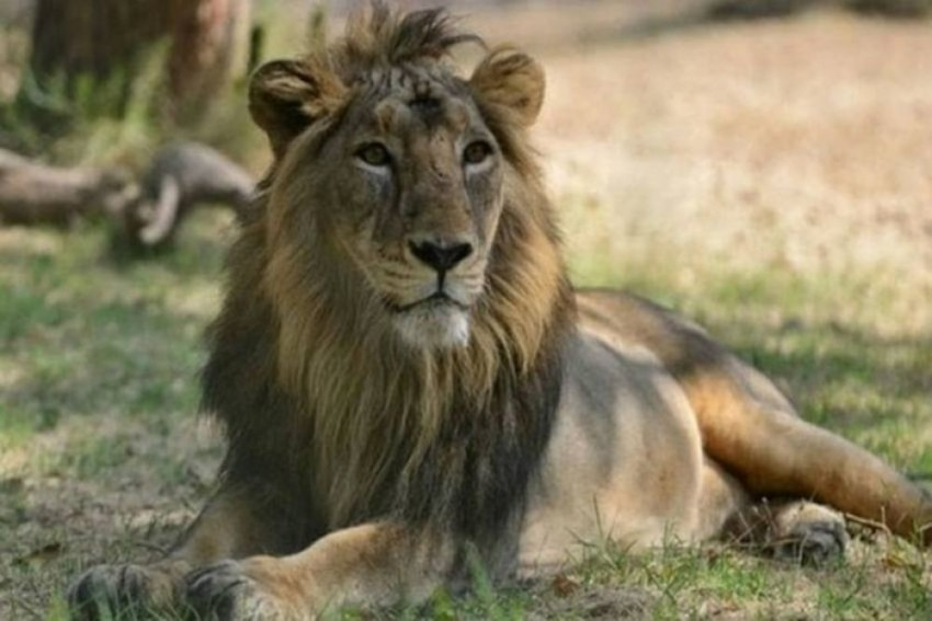 Gujarat Zoo To Trade 40 Asiatic Lions For Other Wild Animals For Kevadia Jungle Safari