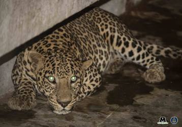 In Pictures: Leopard Breaks Into Maharashtra School Canteen, Rescued