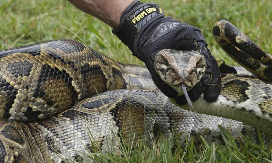 Forest Office Rescues 11-Ft-Long Python That Swallowed A Small Monkey In Gujarat