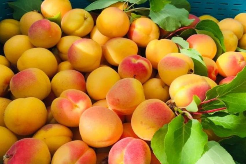 50 Year Long Ban On Export Of Fresh Apricots From Ladakh Lifted