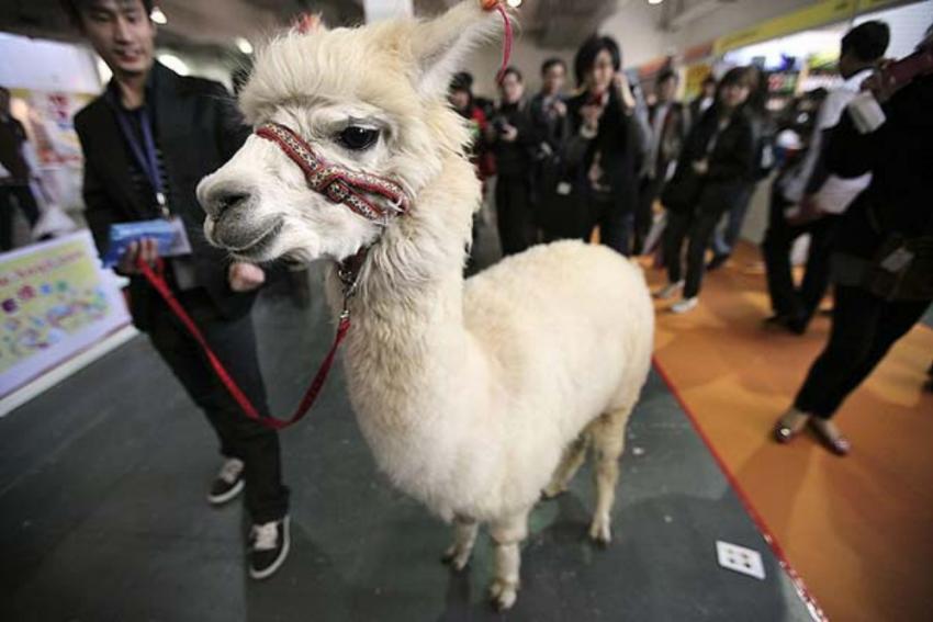 Nasal Spray Made Of Tiny Antibodies Found In Llamas May Held Fight Covid-19