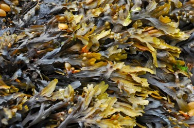 Seaweed Cultivation Market May Top Valuation Of USD 41 Bn By 2031: Study