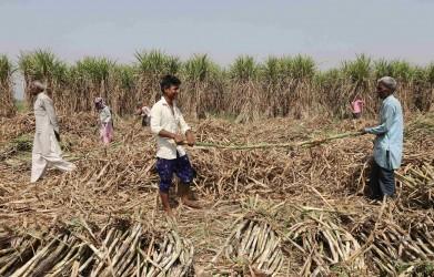 Online Filing Of Declaration Form Gets Easier For UP Sugarcane Farmers, Uploading Details Not Needed Anymore