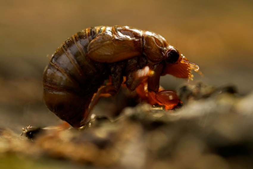 Meghalaya Scientists Discover Nagaland's First Cicada Specie