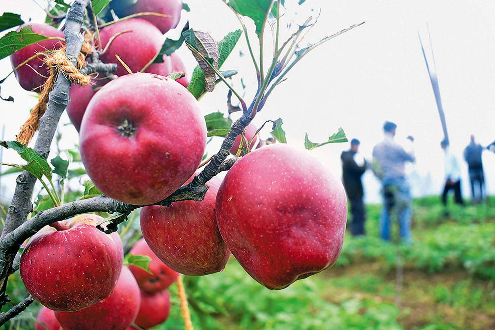 Bad Apples Spoil Himachal's Much-Loved 'Delicious' Harvest