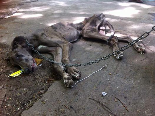 Bound By Chain Great Dane Starved To Death