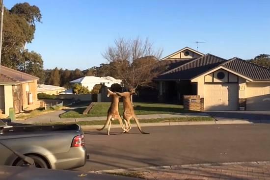 Boxing Match, Kangaroo Style