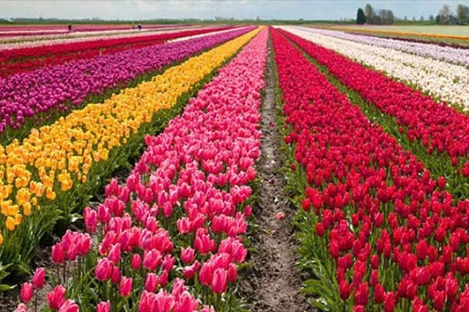 Welcome To Tulip Garden – A Game Of Normalcy In Seething Kashmir