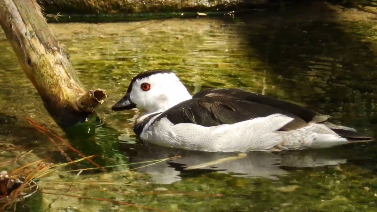 Cotton Teal or Pygmy Goose