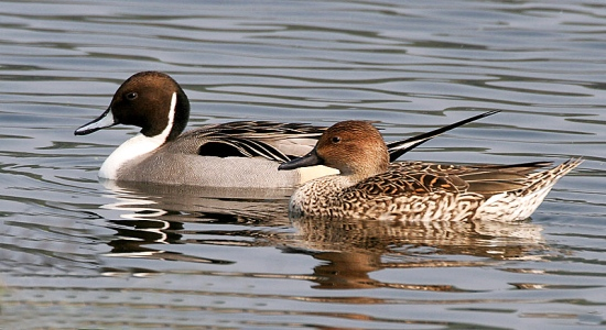 Northern Pintails (Male & Female)