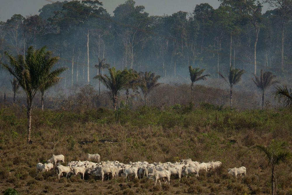 Cattle stand near a wooded area smoldering in the Alvorada da Amazonia region in Novo Progresso, Para state, Brazil.