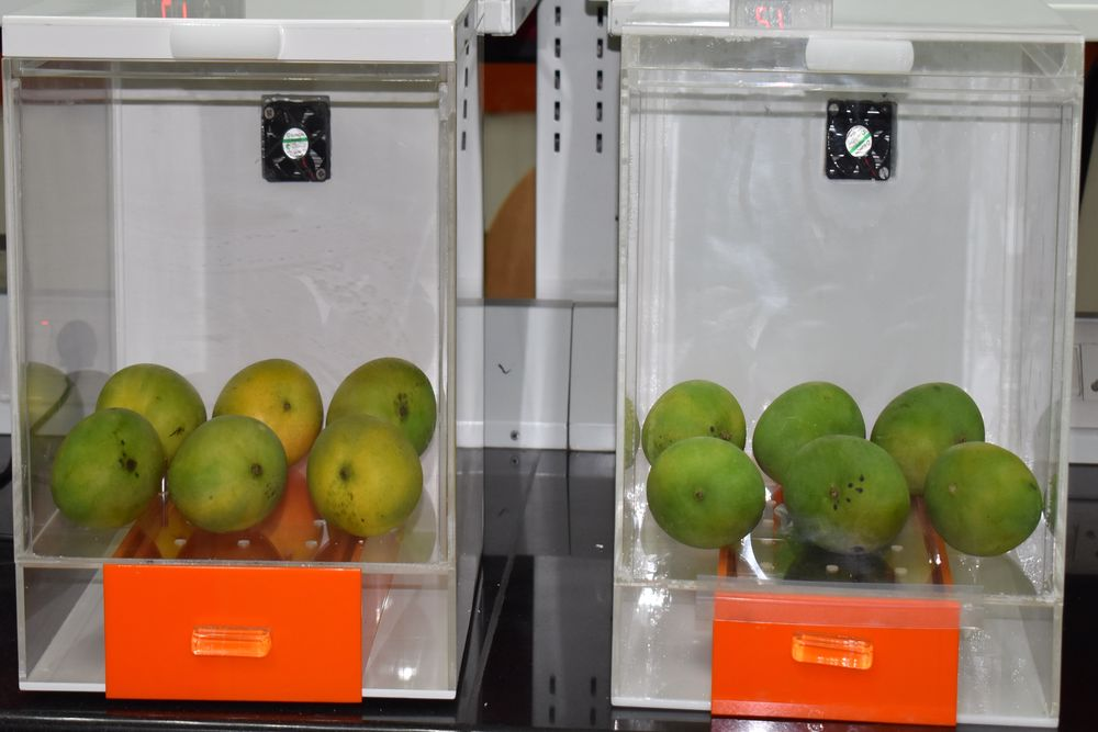 Mangoes on the right, treated with the formula, retained texture unlike those on left which ripened earlier