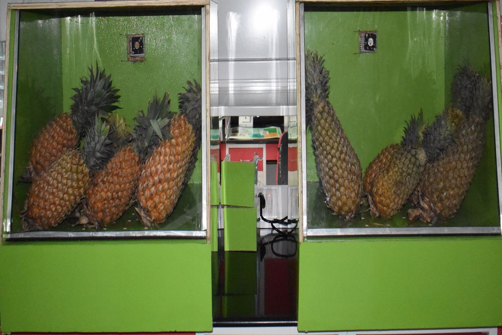 Shelf life of pineapples could be increased (right) with treatment