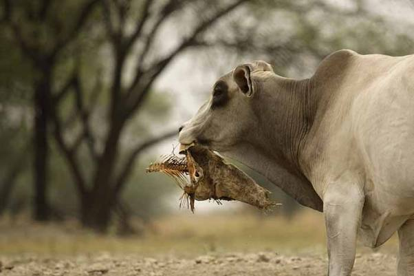 Outlook Photo Gallery : A bull feeds on a dried carcass of a