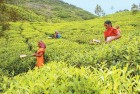 <b>Hot Cuppa:</b> Women pluckers at work early in the morning in the Kanan Devan hills