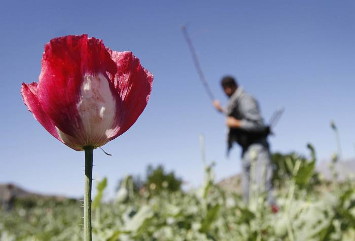 Why Poppies Continue To Bloom in Afghanistan