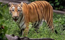 World Tiger Day: Protecting Wild Tigers In Tiger Range Countries