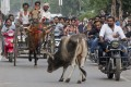 Cong, VHP Attack Raje Government for 'Ignoring' Cows