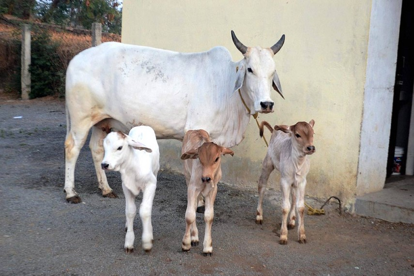 Declare Cow as National Animal, Ban Slaughter, Demands