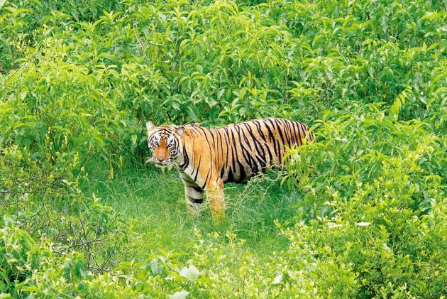 Tigress Avni's Killing: There's A Need To Curate Big Cat Eco-System